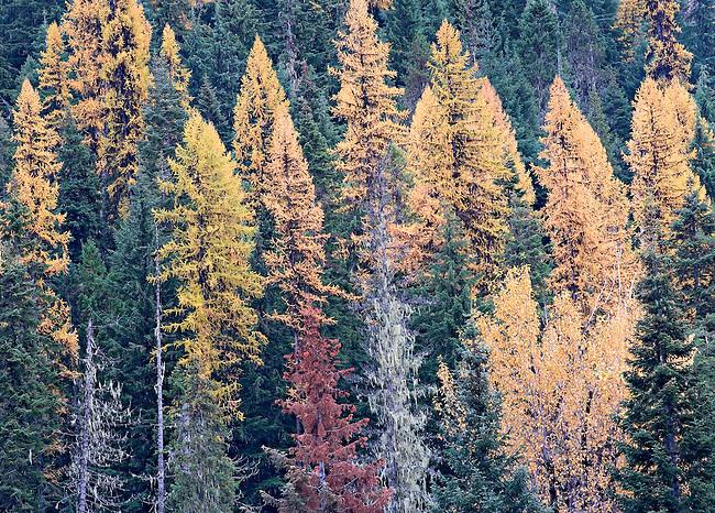 autumn tamarack forest Idaho