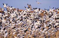 Snow Goose, Chen caerulescens, flock in flight, Bosque del Apache National Wildlife Refuge , New Mexico, USA, December 2003