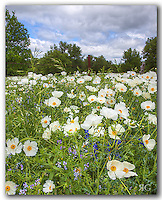 From the rolling hills of the Texas Hill Country, this Texas wildflower image displays the beauty of white prickly poppies. Growing along a highway between Llano and Frederecksburg, these wildflowers arise each spring and fill the pastures and roadsides with splashes of color everywhere as they often mix in with bluebonnets and other Texas favorites.