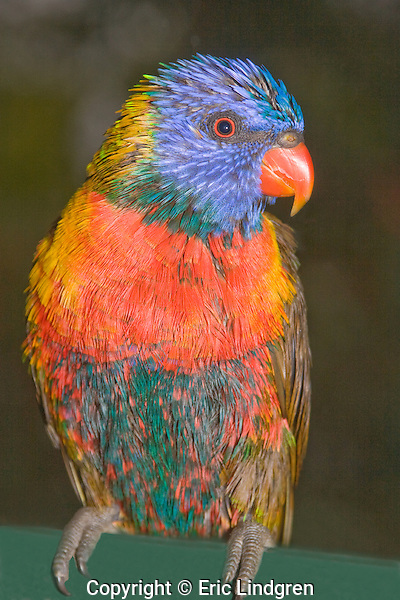 A wet Rainbow Lorikeet changes colour because of the differences in feather types- either pigment-related or structural-related. In this lorikeet the colour of predominantly green feathers , such as on the back and wings, comes mainly from the micro-structure of the feather barbules that interferes with light wavelengths changing one colour to another; When molecules of water in the rain fill in the micro-structures of the barbules the appearance of the green colour alters to brown. Pigment-based feathers are not affected, unless they have both pigmented and structural attributes. When dry this bird will return to its normal gaudy plumage.  // Rainbow Lorikeet - Psittacidae: Trichosurus haematodus. Length to 30cm; wingspan to 45cm; weight to 150g; Found in northern and eastern Australia from the Kimberley Region in northern Western Australia (Red-collared Lorikeet) to eastern Siouth Australia. Occurs in forests, woodlands, heath, and rural and urban areas. Aviary-escapees are established in many towns and cities. Widespread with many subpsecies - often with a different name - from eastern Indonesia through New Guinea east to Vanuatu and New Caledonia, northto Manus and the Admiralty Islands just south of the equator. (The Philippine Islands form may also be a subspecies but the taxonomy of the group is not yet finalised).