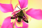 Broad Bordered Bee Hawk Moth, Hemaris fuciformis, resting on pink and yellow flower, showing clear wings and antennae, diurnal, day flying moth, hovers over flowers to feed with long probiscus, often mistaken for bee.United Kingdom....