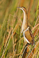 508730012 a wild male least bittern ixobrychus exilis perches in tall reeds along a waterway in anahuac national wildlife refuge in east texas