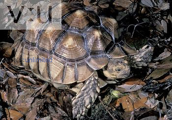 African Spurred or Spur-thighed Tortoise ,Geochelone sulcata,, Central Africa.