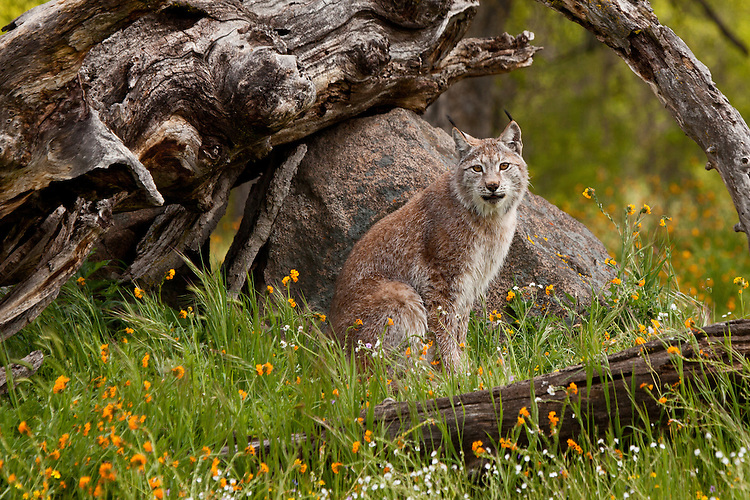 Siberian Lynx sitting under an old tree stump amongst some wildflowers - CA