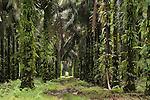 New Britain palm (Elaeis quineesis Jacq)  oil plantation by the coast.