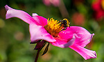 Flower and a bee at Christchurch Botanic Gardens, South Island, New Zealand