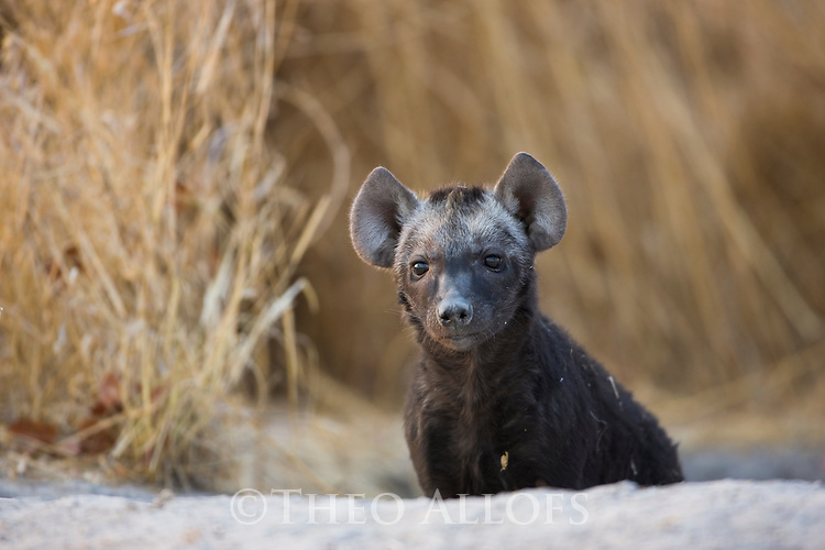 Spotted hyena (Crocuta crocuta) pup looking out of den entrance, Moremi Game Reserve, Botswana