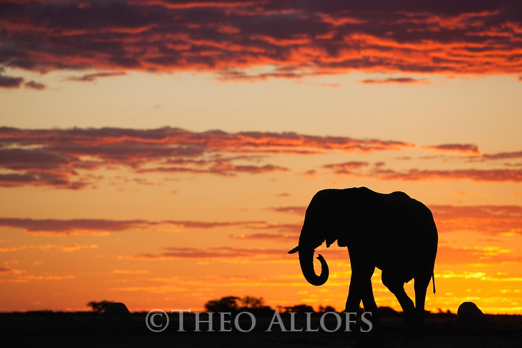 Botswana, Nxai Pan National Park, African elephant bull (Loxodonta africana) silhouetted against sky at sunset
