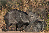 650520271 wild javelina or collared peccaries dicolyties tajacu on beto gutierrez santa clara ranch hidalgo county lower rio grande valley texas united states