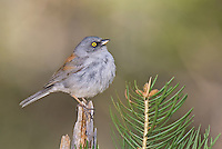 552200019 a wild yellow-eyed junco junco phaeonotus on a douglas fir bough on mount lemmon near tucson arizona united states