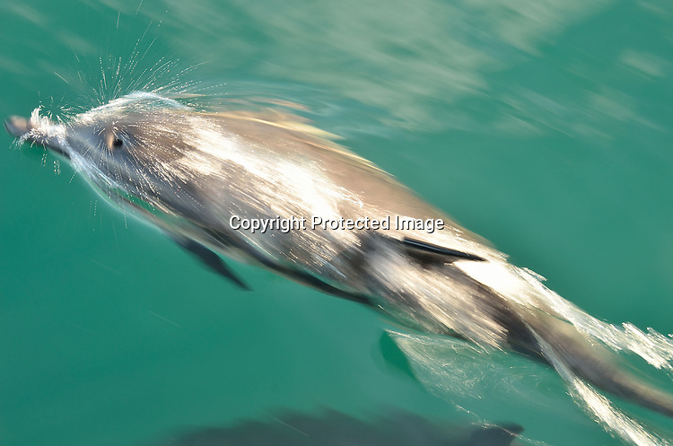 Fast Moving Common Dolphin