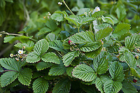 Alpine strawberry plants (Fragaria vesca).