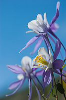 Close up of Columbine wildflowers along the trail between Bear Lake and Lake Helene.