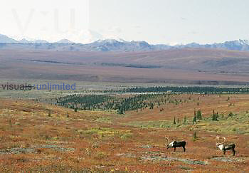 Two Bull Caribou (Rangifer tarandus) on the Alaskan tundra, USA.