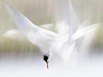 Terns colliding mid-air.