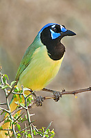 551110056 a wild green jay cyanocorax yncas perches on a plant on santa clara ranch hidalgo county rio grande valley texas united states