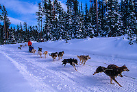Dog sled team, Big Sky resort, Montana