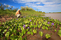 Carlos Cordoba. Every spring, the entangled roots of the water hyacinths form floating islands that provide a habitat for insects, reptiles, amphibians and even marsh deer. The Guarani Indians, the first inhabitants of the delta, gathered the plant for its many medicinal properties.