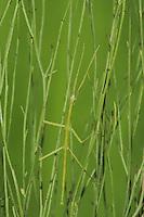 Giant Walkingstick (Megaphasma denticrus), adult in grass, Sinton, Corpus Christi, Coastal Bend, Texas, USA