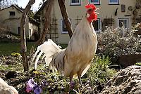 Zwerghuhn im Garten, Hahn kräht, Hühner, glückliche Hühner, freilaufende Hühner, Artgerechte Tierhaltung, Zwerghühner