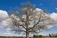 Oak (Quercus robur), Matsalu Roude Bay Nature Reserve, Estonia