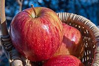 Apple Gala fruits, Malus domestica, three in basket freshly picked crop