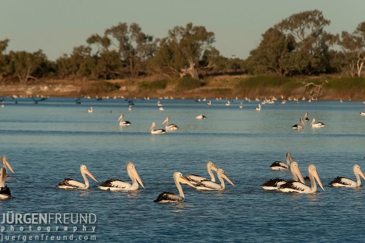 Australian pelicans(Pelecanus conspicillatus) feed in the hundreds along the Cooper Creek at sunse in Cullyamurra Waterhole.