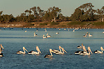 Australian pelicans(Pelecanus conspicillatus) feed in the hundreds along the Cooper Creek at sunse in Cullyamurra Waterhole.