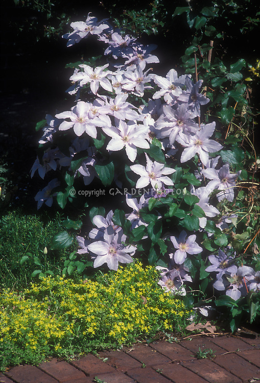 Clematis Silver Moon with sedum in bloom, climbing vine, pinkish blue flowers