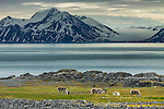 Four Svalbard reindeer , the smallest sub-species of reindeer, Svalbard, Norway