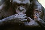 Bonobo or pygmy chimpanzee with infant. (captive)
