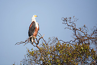 African Fish Eagle perched high on a tree on lookout in the Masai Mara Reserve, Kenya, Africa (photo by Wildlife Photographer Matt Considine)