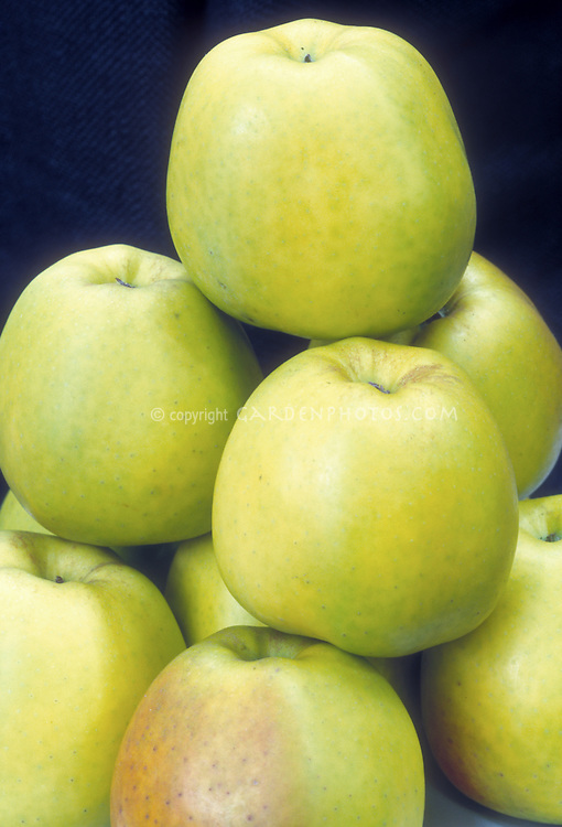 Apples Golden Delicious fruit Malus domestica