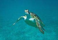 Green Sea Turtle (Chelonia mydas)<br /> U.S. Virgin Islands