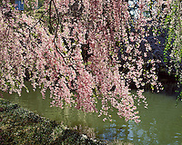 Cherry Blossoms, Brooklyn Botanic Garden, Brooklyn, New York, Japanese Hill and Pond Garden, Blossom