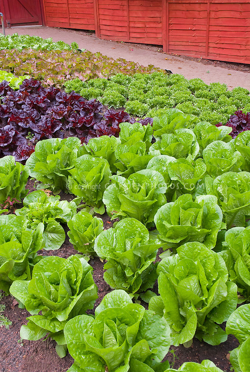 Red lettuce, green lettuces, romaine lettuce, heads of lettuce in fenced vegetable garden, in rows growing, wide view of many salad plants, with red fence, garden spigot hosepipe