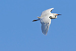 A snowy egret (Egretta thula) flies over a pond in Adams County, Colorado