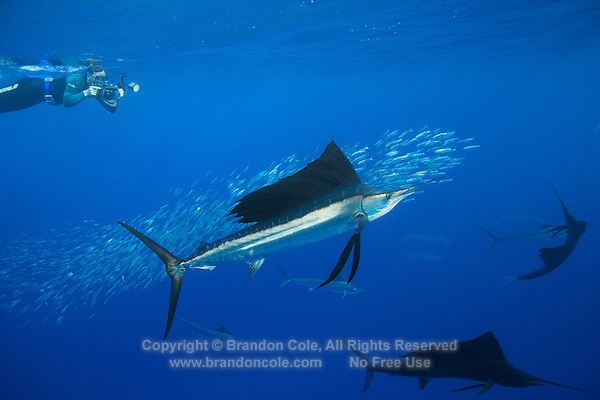qh0750-D. Atlantic Sailfish (Istiophorus albicans) feeding on sardines. Some consider this the same species as the Indo-Pacific Sailfish (I. platypterus). Mexico, Gulf of Mexico..Photo Copyright © Brandon Cole. All rights reserved worldwide.  www.brandoncole.com..This photo is NOT free. It is NOT in the public domain. This photo is a Copyrighted Work, registered with the US Copyright Office. .Rights to reproduction of photograph granted only upon payment in full of agreed upon licensing fee. Any use of this photo prior to such payment is an infringement of copyright and punishable by fines up to  $150,000 USD...Brandon Cole.MARINE PHOTOGRAPHY.http://www.brandoncole.com.email: brandoncole@msn.com.4917 N. Boeing Rd..Spokane Valley, WA  99206  USA.tel: 509-535-3489