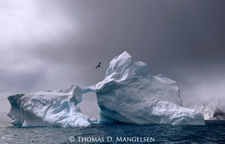 Boasting a six-foot wingspan, a southern giant petrel wheels above one of the untold numbers of icebergs that fill the channels and bays of Antarctica's seas.