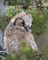 Great Horned Owl Chick, Grand Teton National Park