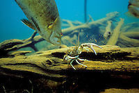 Smallmouth Bass, with crayfish<br /> <br /> ENGBRETSON UNDERWATER PHOTO