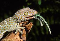 GK09-003z   Tokay Gecko - eating lizard  prey -  Gekko gecko  .