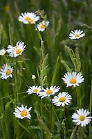 Daisy flowers amongst grass, Oxfordshire,  United Kingdom