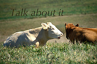 Two cows talking to each other