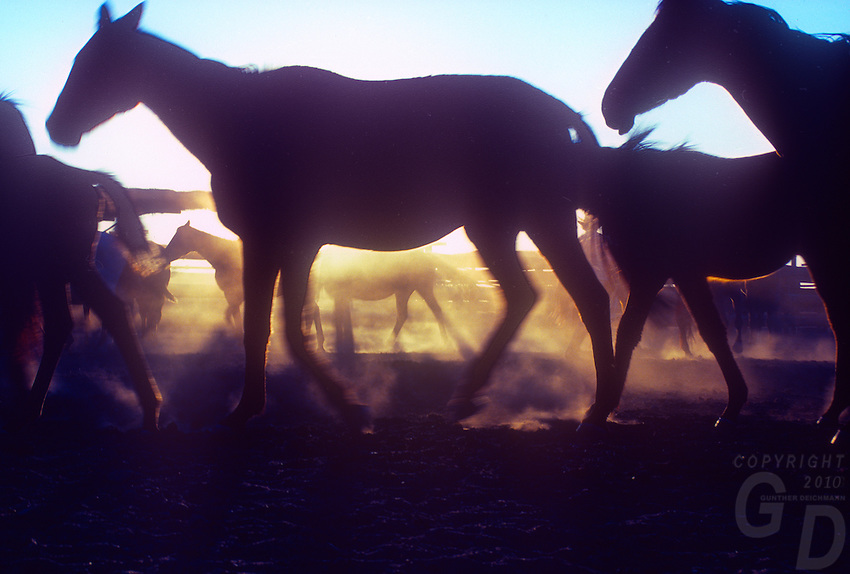 Horses at a Outback station Northern Australia