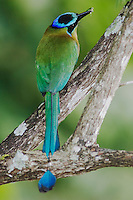 Blue-crowned Motmot, Momotus momota, adult with insect prey, Central Valley, Costa Rica, Central America, December 2006