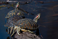 Red-slider Turtles