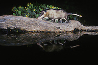 Virginia Opossum, Didelphis virginiana, adult at night walking on log in pond, Rio Grande Valley, Texas, USA
