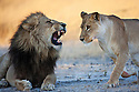 Botswana, Okavango Delta, Moremi; lion mating pair, lioness approaching snarling male