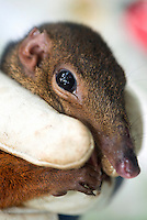 Large Tree Shrew (Tupaia tana) trapped for research, Borneo, Malaysia